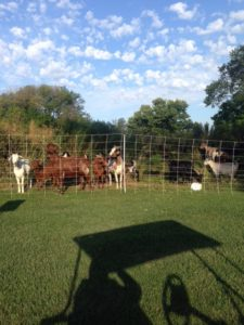 The Green Goats mowed through 1.2 acres of plant  overgrowth in a week at La Grange (Ill.) Country Club.